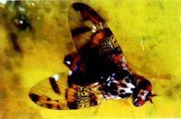 中泰兴盛 地中海实蝇