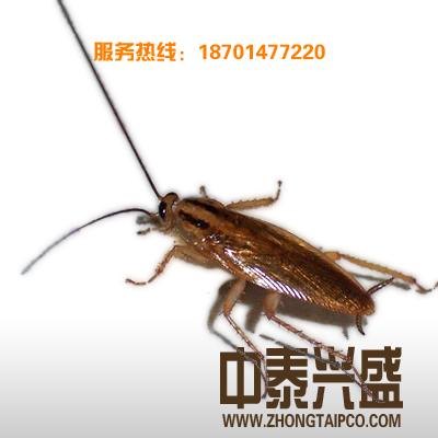 灭蟑螂 杀虫公司 除虫公司 灭虫公司 消杀公司 中泰兴盛